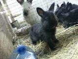 Продам породистых крольчат от 1мес